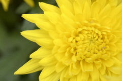 Yellow Chrysanthemum. A macro view of a yellow chrysanthemum in a garden Royalty Free Stock Photography