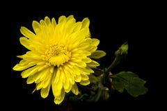 Free Yellow Chrysanthemum Royalty Free Stock Images - 38979659