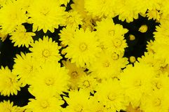 Yellow chrysanthemum. Royalty Free Stock Photography