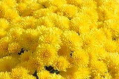 Yellow chrysanthemum background Stock Images