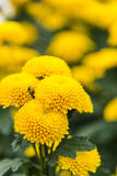 Yellow chrysanthemum Royalty Free Stock Photography