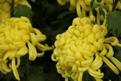 Yellow Chrysanthemum Stock Photos