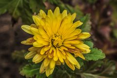 Yellow chrysanthemums stand firm November frosts. Royalty Free Stock Photos