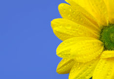 Yellow chrysanthemum on blue Royalty Free Stock Photo