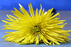 Yellow Chrysanthemum. On blue background Royalty Free Stock Photography