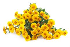 Yellow chrysanthemum bouquet isolated Stock Photos