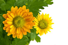 Yellow chrysanthemum bouquet isolated on white Stock Image
