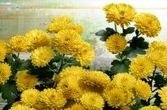 Yellow Chrysanthemum Bunch Royalty Free Stock Image