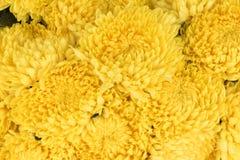 Yellow chrysanthemum. Bunch of yellow chrysanthemum packaging for wholesale Stock Images