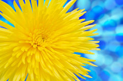 Yellow Chrysanthemum. With clipping path. Chrysanthemum isolated on blue background. With clipping path Royalty Free Stock Image