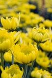 Yellow chrysanthemum close up Royalty Free Stock Photos