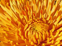 Yellow chrysanthemum Royalty Free Stock Photos