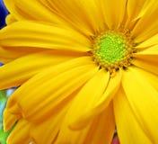 Yellow chrysanthemum. Close-up of a yellow chrysanthemum stock image
