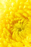 Yellow chrysanthemum close-up Stock Photography