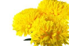 Yellow chrysanthemum Royalty Free Stock Photos