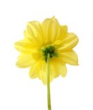 Yellow chrysanthemum dahlia Stock Photo
