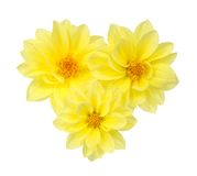 Yellow chrysanthemum dahlia Stock Images
