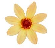 Yellow chrysanthemum dahlia Royalty Free Stock Photography