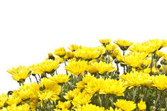 Yellow chrysanthemum in detail Royalty Free Stock Images