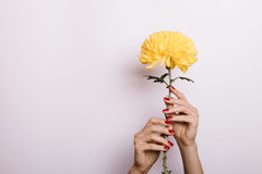 Yellow Chrysanthemum in a female hands with red manicure. On a light background royalty free stock photography