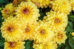 Yellow chrysanthemum floers in bloom Royalty Free Stock Image