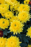 Yellow Chrysanthemum flora blooms. Shallow DOF, focus on the flower at the centre Royalty Free Stock Photos