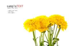 Yellow chrysanthemum flower Royalty Free Stock Photos