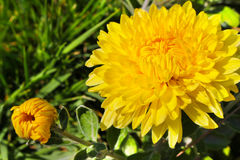 Yellow chrysanthemum flower on a background of green grass Royalty Free Stock Photo