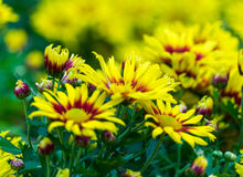 Yellow Chrysanthemum Flower Stock Photos