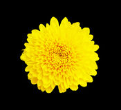 Yellow chrysanthemum flower  on black  background , with clipping path Stock Photos