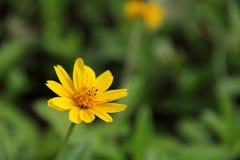 Yellow chrysanthemum flower. (Calendula officinalis ), Beautiful Singapore dailsy flower (Melampodium divaricatum), yellow flower with green background. Its royalty free stock photography