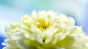 Yellow chrysanthemum flower close Royalty Free Stock Photos