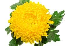 Yellow chrysanthemum flower, close up Stock Photos