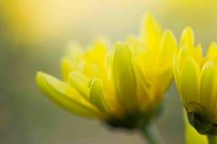 Yellow chrysanthemum flower Closeup. Texture background ,select focus stock photos