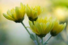 Yellow chrysanthemum flower closeup. Yellow chrysanthemum flower closeup texture background ,select focus royalty free stock images