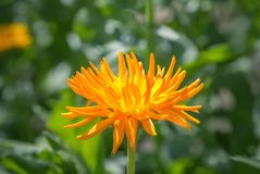 Yellow chrysanthemum flower in the garden. Stock Images