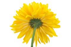 Yellow chrysanthemum flower head Stock Image