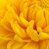 Yellow chrysanthemum flower head Royalty Free Stock Images