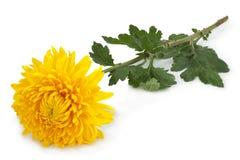 Yellow chrysanthemum flower head Royalty Free Stock Image
