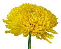 A yellow Chrysanthemum flower isolated on a white background. Close-up. Flower bud on a green stem.  royalty free stock photos