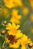 Yellow Chrysanthemum Flower in Japan.  Royalty Free Stock Photos