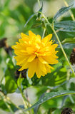 Yellow Chrysanthemum flower, mums or chrysanths, genus Chrysanthemum in the family Asteraceae, green field, close up Royalty Free Stock Photography