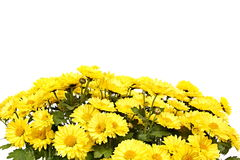 Yellow chrysanthemum flower Royalty Free Stock Images