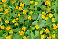 Yellow chrysanthemum flower pattern Royalty Free Stock Image