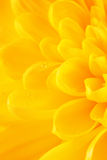 Yellow Chrysanthemum Flower Petals Royalty Free Stock Photo