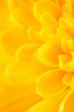 Yellow Chrysanthemum Flower Petals Royalty Free Stock Photo