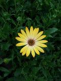 Yellow Chrysanthemum Flower. A yellow chrysanthemum flower, symmetrical in a bush Royalty Free Stock Photo