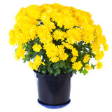 Yellow  chrysanthemum in flowerpot Royalty Free Stock Images