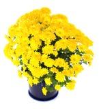 Yellow  chrysanthemum in flowerpot Royalty Free Stock Image