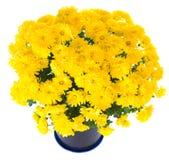 Yellow  chrysanthemum in flowerpot Stock Photography